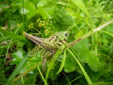 Free Green Locust Royalty Free Stock Photo - 8360995