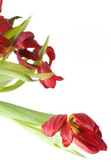 Free Bunch Of Wilted Red Tulips. Stock Photo - 8362010
