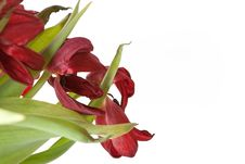 Free Bunch Of Wilted Red Tulips. Stock Photo - 8362120