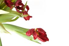 Free Bunch Of Wilted Red Tulips. Royalty Free Stock Images - 8362189