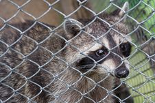 Free Raccoon In Cage Royalty Free Stock Photography - 8362407