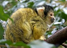 Free Common Squirrel Monkey 7 Royalty Free Stock Photography - 8362417
