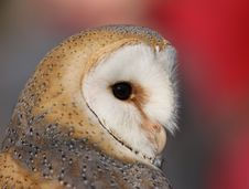 Free Barn Owl Royalty Free Stock Photography - 8362927