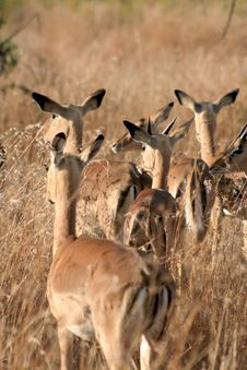 Free Impala Family Royalty Free Stock Photography - 8364037