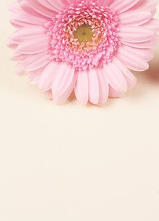 Free Beautiful Pink Gerber Daisy Royalty Free Stock Photos - 8364158