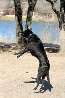 Free Black Labrador Playing Stock Photos - 8364263