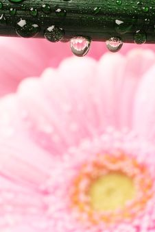 Free Beautiful Pink Gerber Daisy Stock Photos - 8364523