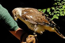 Free Hawk On The Hand Stock Image - 8364651