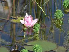 Free Lotus Royalty Free Stock Images - 8364989