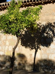 Free Lime Tree And Shadow Stock Photography - 8365122