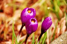 Purple Crocus Stock Images