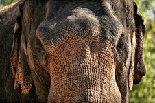 Brown Elephant Stock Photography