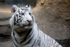 Free White Tiger Royalty Free Stock Photography - 8366147