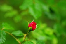 Free Red Rose Stock Images - 8366464