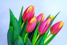 Free Bunch Of Tulips Stock Photo - 8366560