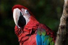 Free Red Parrot Stock Images - 8367294