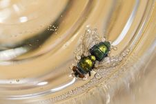 Free Drunk Fly Stock Photo - 8367600
