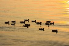 Free Duck Sunset Royalty Free Stock Photo - 8367905