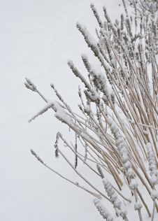 Free Snow Reeds Royalty Free Stock Image - 8368486