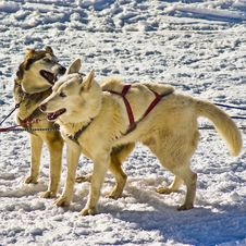 Husky Snow Dogs Stock Image