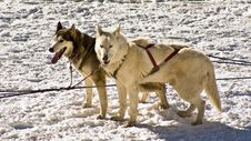 Husky Snow Dogs Royalty Free Stock Image