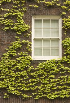 Free Window Vines Royalty Free Stock Photography - 8369987