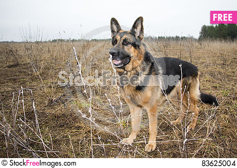 Free Dog German Shepherd In A Spring Day Stock Images - 83625004