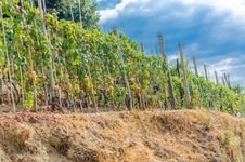 Free Vineyard In Italy Stock Images - 83679494