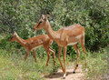 Free Africa Wildlife: Impala Stock Photos - 8373633