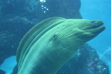 Free Ocean Moray Eel A Tropical Fish Feedling Stock Images - 8370344