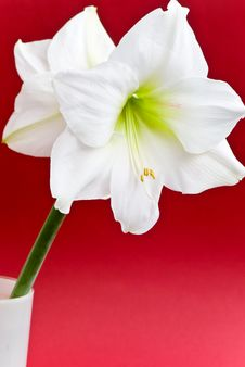 White Amaryllis- Closeup Shot On The Red Backgroun Stock Photos