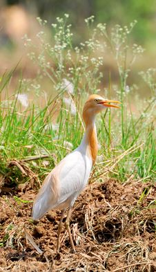 Cattle Egret Stock Photography