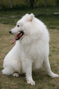 Free Samoyed Dog Sitting On Lawn Stock Images - 8371174
