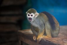 Free Squirrel Monkey Royalty Free Stock Images - 8371629