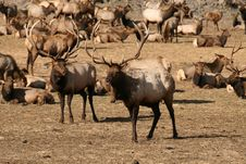 Free Herd Of Elk Stock Photos - 8371653