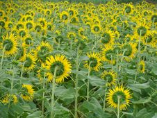 Free Sunflowers Field Royalty Free Stock Image - 8372316