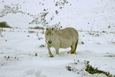 Free Dartmoor Wild Pony In The Snow Royalty Free Stock Image - 8372326