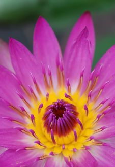 Free Water Lily Stock Photos - 8372333