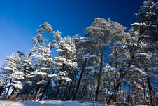 Free Pine Forest Stock Photography - 8372522