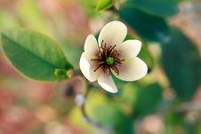 Free Camellia Stock Photos - 8372753