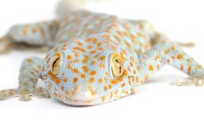 Free Gecko Stock Photography - 8373182