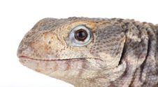 Free Lizard Stock Photography - 8373252
