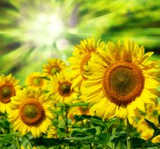 Free Sunflowers Royalty Free Stock Images - 8374419