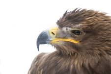 Free Eagle Head Stock Photo - 8374690