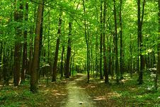 Free Green Forest Royalty Free Stock Images - 8374849
