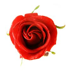 Free Red Rose Over White Stock Photography - 8375382