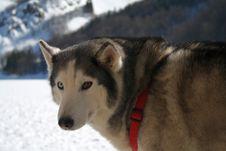 Free Siberian Husky Stock Images - 8375634