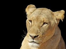 Free Pensive Lioness On Black Royalty Free Stock Images - 8376429