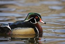 Free Wood Duck (Aix Sponsa) Male Royalty Free Stock Photo - 8376435