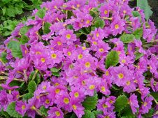Free Pink The Flowers Of A Primrose Stock Photos - 8376663